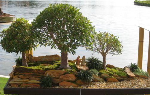 willow-leaf-ficus-bonsai1
